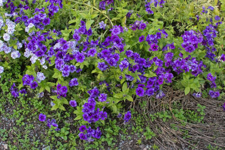showy: Purple and white flowers outdoors Barrgilia Linanthus False baby stars, False babystars, Showy linanthus androsaceus Sweden in October.