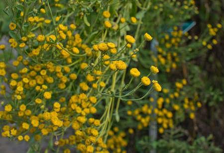matricaria: Chamomile Matricaria chamomille flowers herbal medicinal plant. Stock Photo