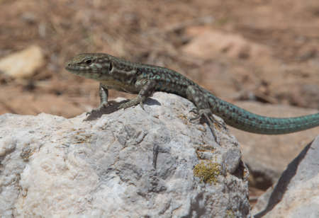Podarcis lilfordi, lizard endemic to  Dragonera island, nature reserve in Mallorca, Balearic islands, Spain.