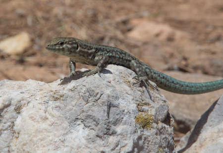Podarcis lilfordi, lizard endemic to  Dragonera island, nature reserve in Mallorca, Balearic islands, Spain. Imagens - 51256787