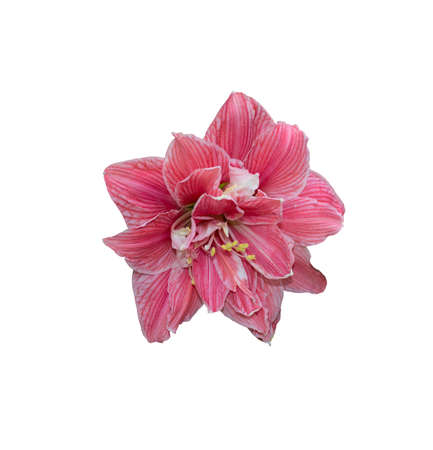 pistils: Pink amaryllis flower closeup with petals and pistils isolated on white.