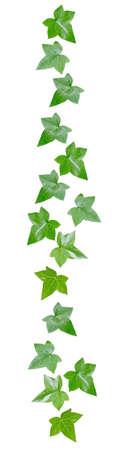 margen: Green vine leaves margin decor isolated on white. Foto de archivo
