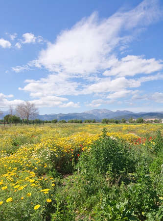Mallorca blossoming spring landscape with red poppies, green and yellow field and the Tramuntana mountains in the distance. Mallorca, Balearic islands, Spain in early April. Stock Photo