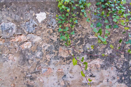 leafy: Stone or concrete abstract background wall texture with green leafy vine and copy space.