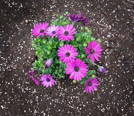 asteraceae: Pink purple spring flowers asteraceae in flowerbed, Mallorca in April. Stock Photo