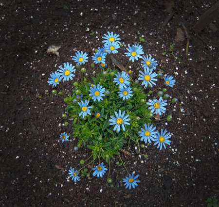 asteraceae: Blue spring flowers asteraceae in flowerbed, Mallorca in April.