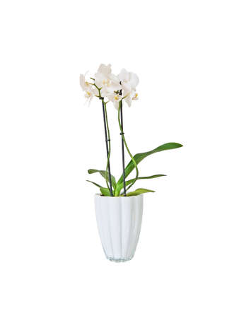 White orchid flowers in pot isolated on white