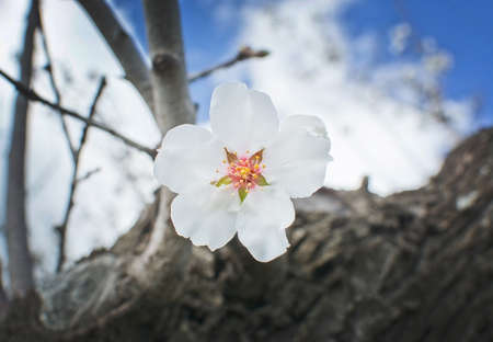 Single white almond flower closeup on tree in rural landscape with blue sky in Mallorca, Balearic islands, Spain in February. Stock Photo