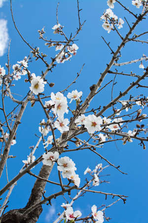 ecstacy: Blossoming almond flowers closeup on blue sky in Mallorca, Balearic islands, Spain in February. Stock Photo