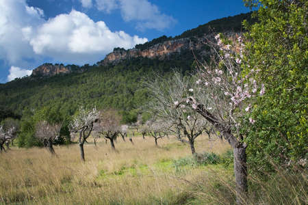 ecstacy: Blossoming almond trees in rural landscape with blue sky in Mallorca, Balearic islands, Spain in February.