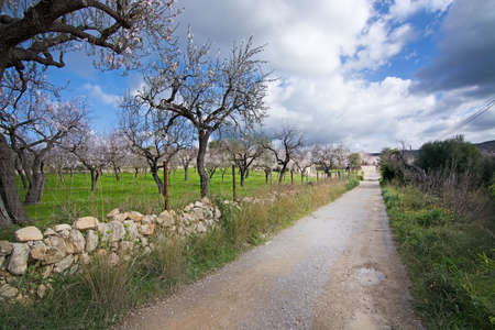 Blossoming almond trees along a country road in rural sunlit landscape with blue sky in Mallorca, Balearic islands, Spain in February.