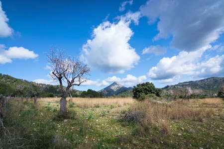 Blossoming almond tree on field in rural landscape with blue sky in Mallorca, Balearic islands, Spain in February.
