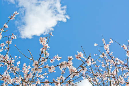 Blossoming almond flowers closeup on blue sky in Mallorca, Balearic islands, Spain in February. Stock Photo