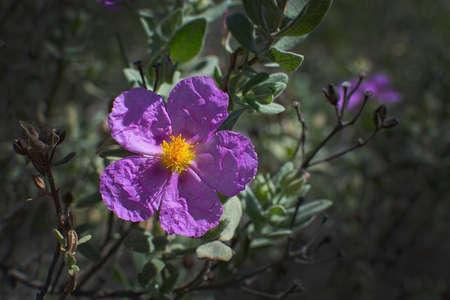 palma: Pink rock rose Cistus Albida in spring sunlight. Mallorca, Spain.