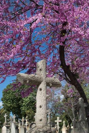 PALMA DE MALLORCA, SPAIN - MARCH 23, 2017: Tanatori son Valenti Palma cemetery pink blossoming Judas tree and tombstone crosses on March 23, 2017 in Palma, Mallorca, Spain.