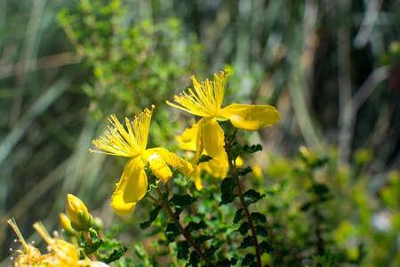 Bright yellow St Johnswort wildflowers in Mallorca, Spain. Stock Photo