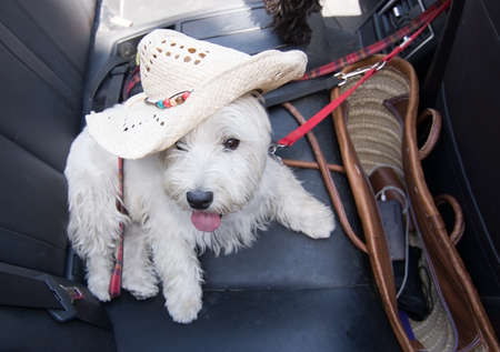 White terrier with summer vacation strawhat on black leather seats inside car. Reklamní fotografie