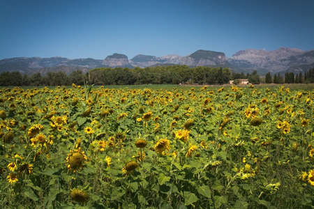 helianthus: Sunflower field, Helianthuus anuum, in Mallorca, Balearic islands, Spain.