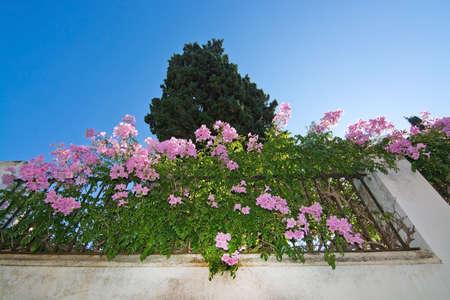 Buisson fleuri rose avec des feuilles vertes sur le mur de pierre blanche à Majorque, en Espagne. Banque d'images - 89125498