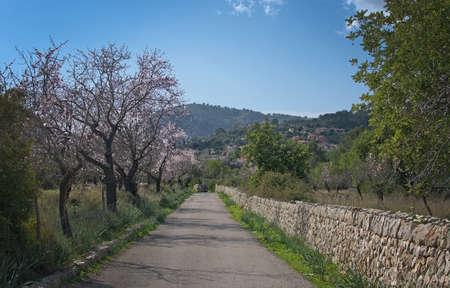 2 月にスペイン、バレアレス諸島マヨルカ島の青い空と農村景観における開花アーモンドの木。