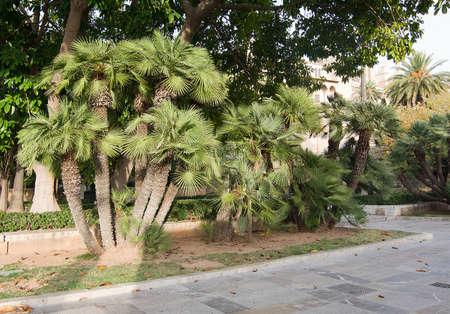 流行の扇状葉の椰子、Chamaerops 扁平、マヨルカ、スペインのパルミトス公。 写真素材