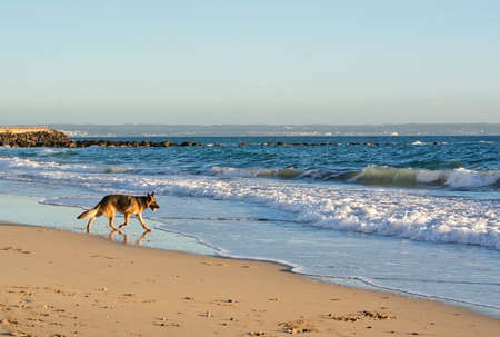 Happy German Shepherd dog plays on the beach on a sunny winter afternoon in January in Mallorca, Spain. Stock Photo