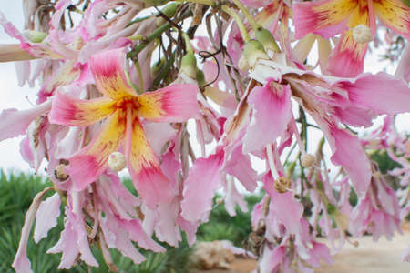 Tropical silk floss flower in yellow and pink (Chorisia speciosa) flowering in October. Stock Photo