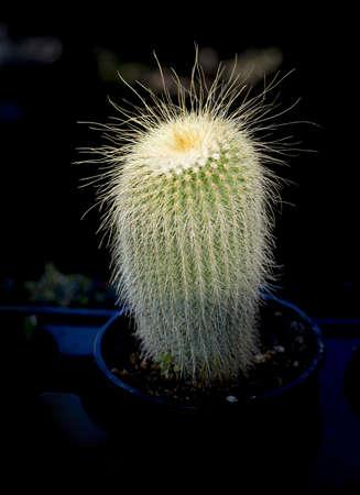 Cactus in light and dark pot. Stock Photo