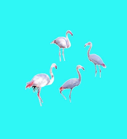 Four flamingos isolated on aqua turquoise background imaginary water without visible feet