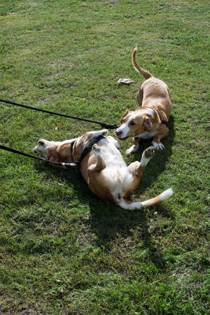 Two mix breed small dogs play and roll in the grass on a dog walk on a sunny day in Stockholm, Sweden. Banco de Imagens