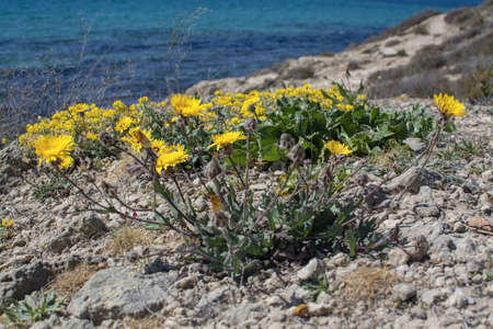 Yellow wildflowers, Sea Daisy or Sea Aster, Mediterranean Beach Daisy, Gold Coin Asteriscus maritimus or Asteriscus aquaticus, blossoming against blue turquoise Palma bay on a sunny day in March, Mallorca, Spain.