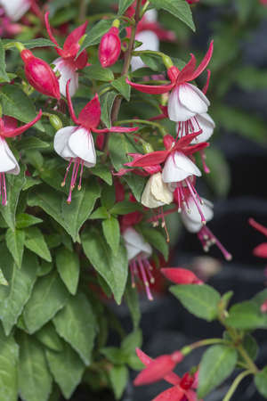 Fuchsia flowers red and white. Spring garden series, Mallorca, Spain.