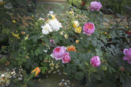 Gorgeous double pink  and yellow roses with buds and fallen petals. Spring garden series, Mallorca, Spain. Stok Fotoğraf