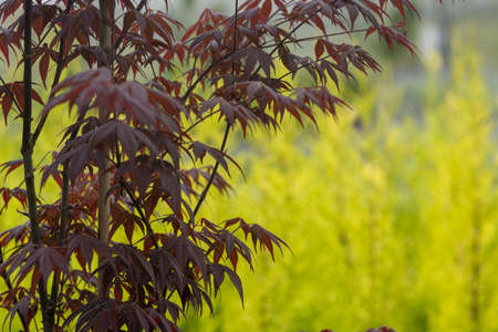Elegant Japanese zen style bamboo tree background dark red leaves against bright green background Stock Photo