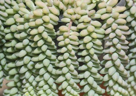 Succulent cactus plant, Sedum burrito, full frame background texture. Spring garden series, Mallorca, Spain. 免版税图像