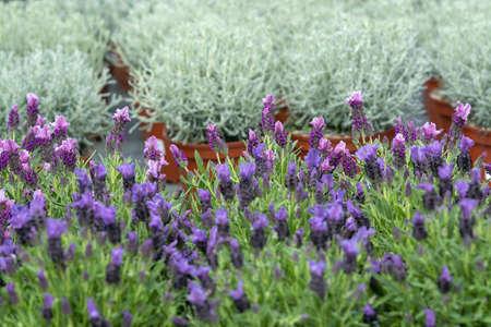 Lavender purple flowers closeup Lavendula officinalis. Spring garden series, Mallorca, Spain. Archivio Fotografico