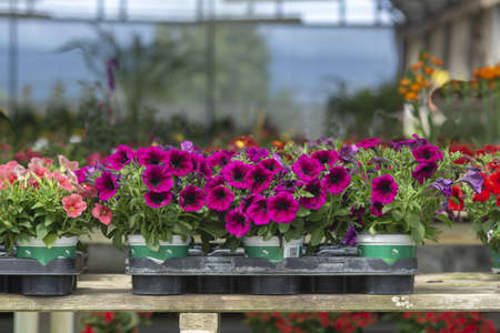 Pink petunia flowers in pots inside greenhouse. Spring garden series, Mallorca, Spain.