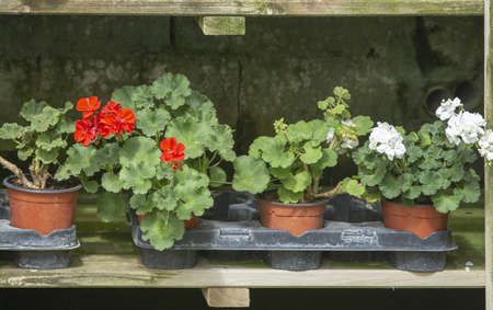 Red geranium flowers in pots in a row on rustic wood shelf