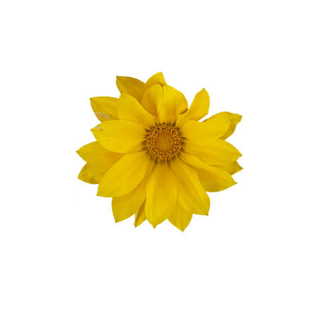 Yellow gazania flower with many petals and quirky shape from above isolated on white