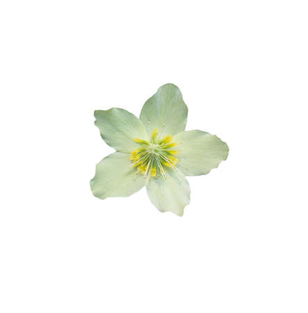 Helleborus Christmas white rose closeup with petals and pistils isolated on white Stock fotó