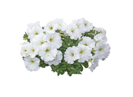 White petunia flowers isolated on white.