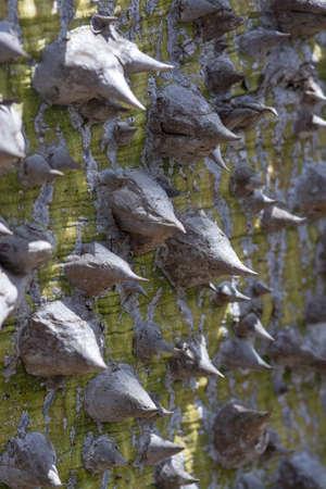 Chorisia tree trunk with aggressively sharp thorns closeup macro photo
