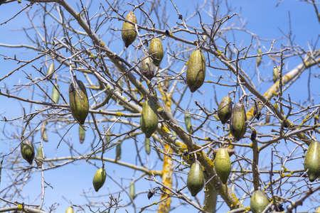 Chorisia tree fruits against blue sky closeup macro photo 写真素材