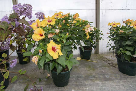 Yellow hibiscus flowers in pots in greenhouse in Mallorca, Spain.
