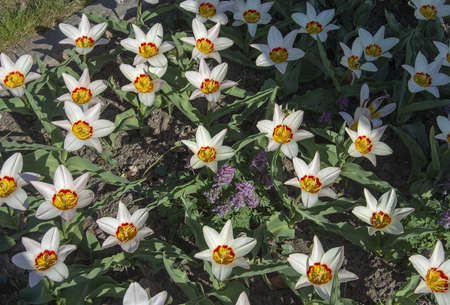 White tulips with red and yellow eye full frame in sunlit flowerbed on a spring day in Sweden.