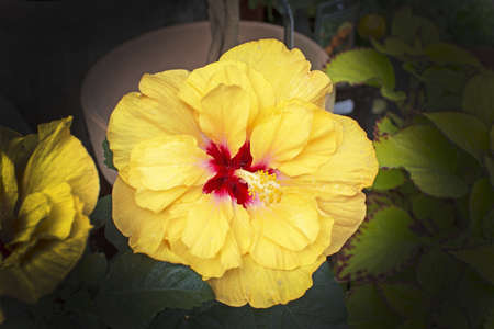 Yellow hibiscus flower in spring sunlight full frame background texture.
