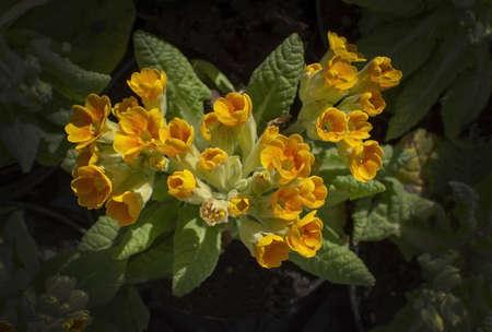 Yellow primrose flowers closeup in spring sunlight