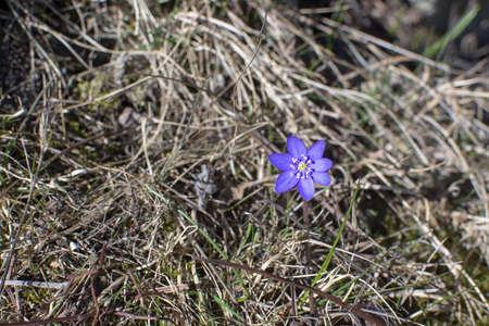 Blue springflower Hepatica in old hay grass in April. Stock Photo - 123892605