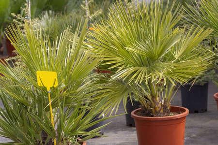 Palm leaves Chamaerops humilis fan palm endemic to Mallorca, Spain. 写真素材
