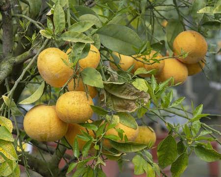 Abundance of oranges on tree closeup in Mallorca, Spain.